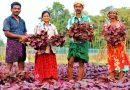 Organic Red Amaranthus Cultivation/How To Plant Amaranths Red Giving high yield of amaranthus